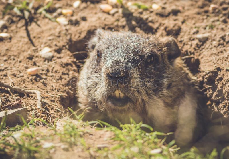 Young Groundhog Marmota Monax closeup in vintage setting stock photography