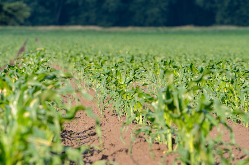 Young growing corn trees stock images