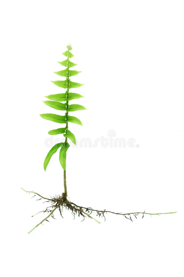 Young growing fern plant with roots royalty free stock photography