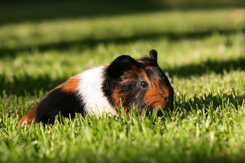 Young guinea pig stock image