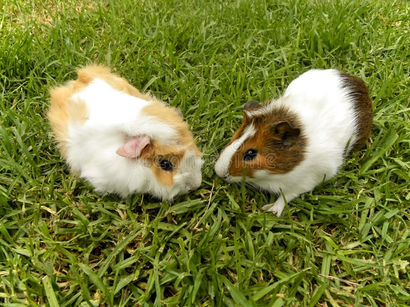 Young Guinea pigs stock photo