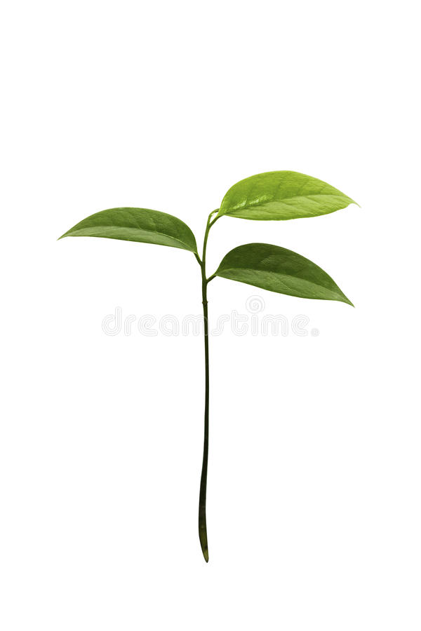 Young Guyabano tree isolated. On white royalty free stock images