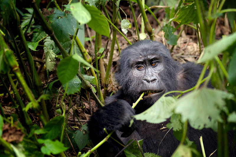 Young Habituated Mountain Gorilla. A young mountain gorilla (Gorilla beringei beringei) chews on a plant stem in Bwindi Impenetrable Forest, Uganda royalty free stock photography