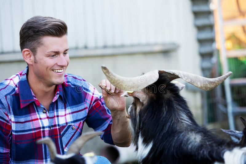 Handsome blond man feeding goats at a farm royalty free stock images