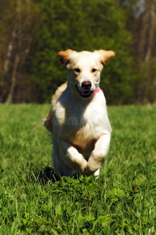 Young happy dog Golden Retriever. With joy quickly runs across the grass, front view stock image
