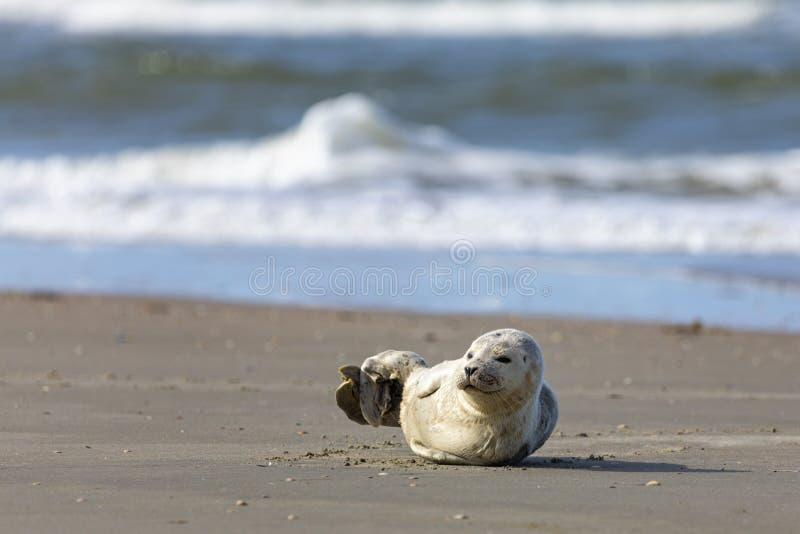 Young harbor seal at Danish North Sea beach royalty free stock photo