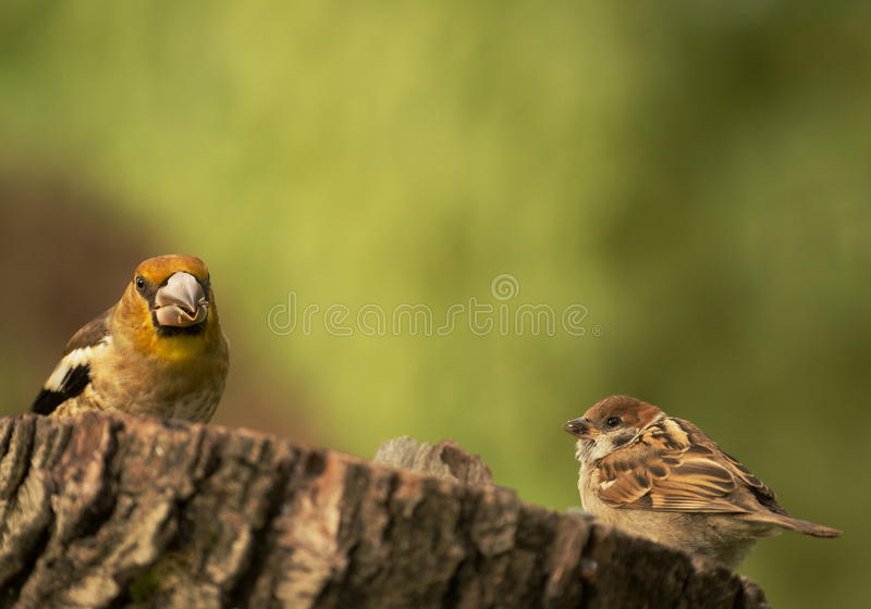 Young Hawfinch and young Tree sparrow on the tree trunk stock photos