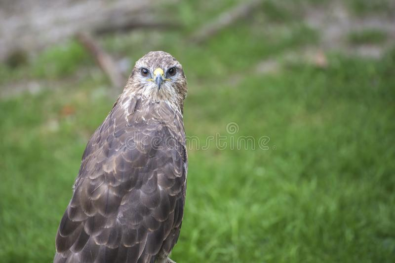 Young hawk in captivity in zoo in summer day. Young hawk in captivity in zoo in summer day royalty free stock images
