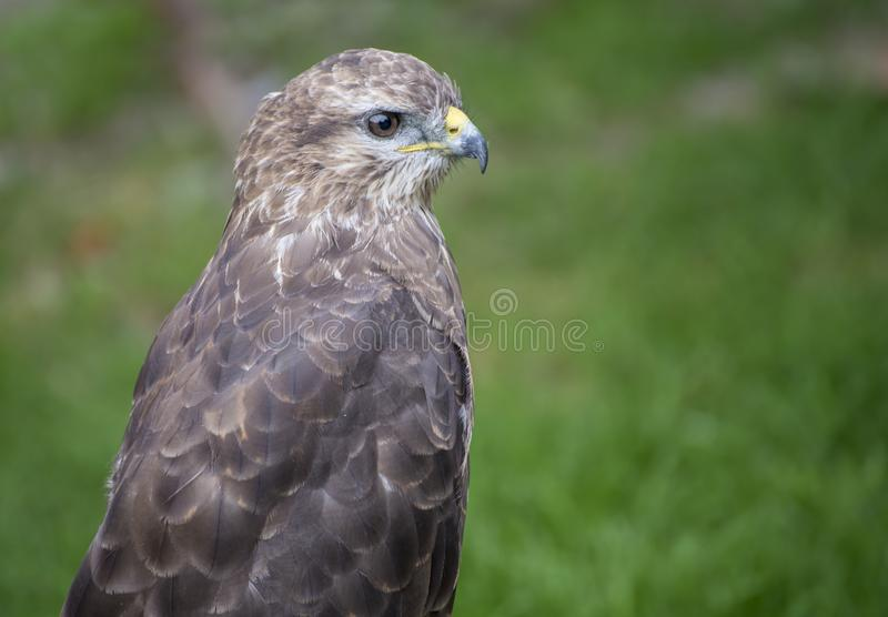 Young hawk in captivity in zoo in summer day. Young hawk in captivity in zoo in summer day royalty free stock photos