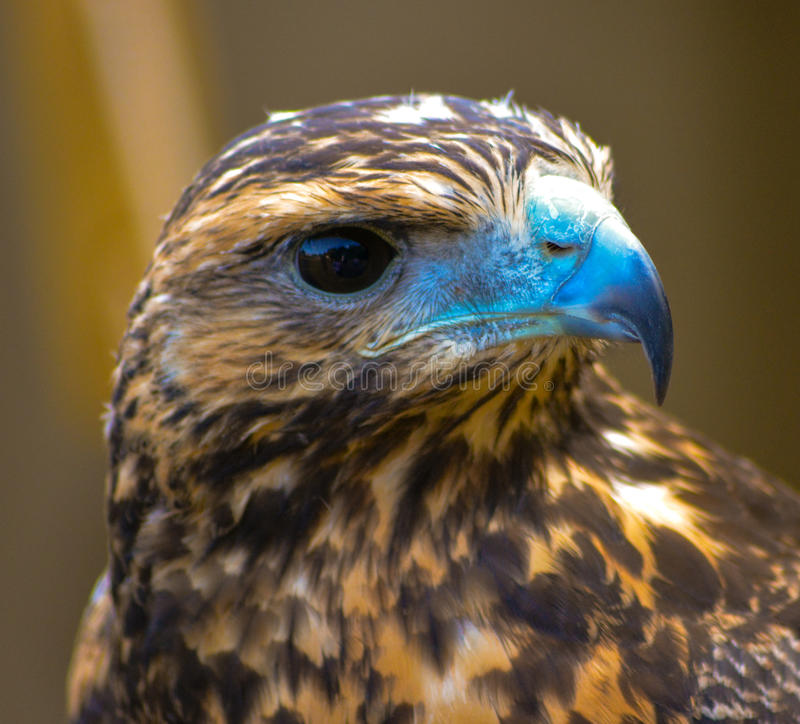 Young Hawk. A picture of a young hawk taken in Aug 14 stock image