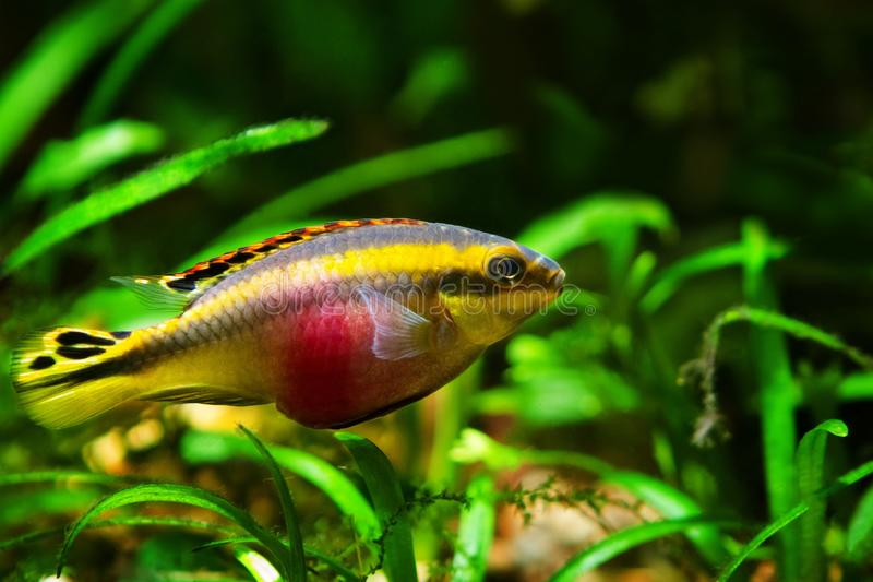 Young, healthy and active male fish, popular ornamental species, endemic animal of African river Congo, kribensis cichlid. Pelvicachromis pulcher young, healthy royalty free stock image