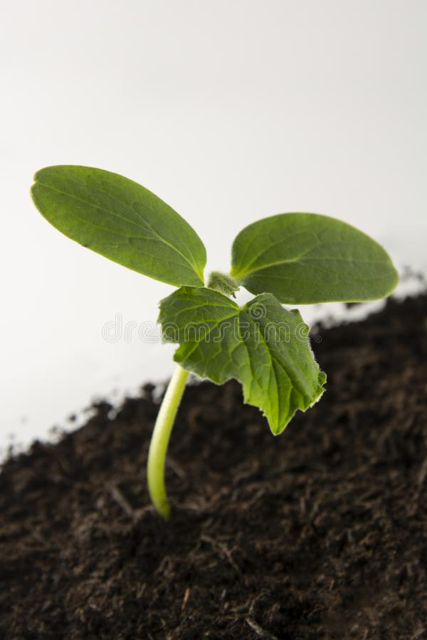 Young and healthy cucumber sprout seedling stands in plastic pots. Cultivation of cucumbers in greenhouse. Cucumber seedlings. royalty free stock photo