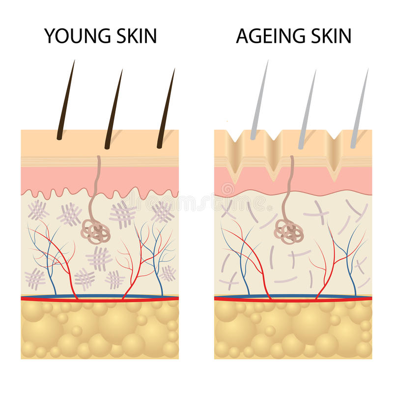 Young healthy skin and older skin comparison. stock illustration