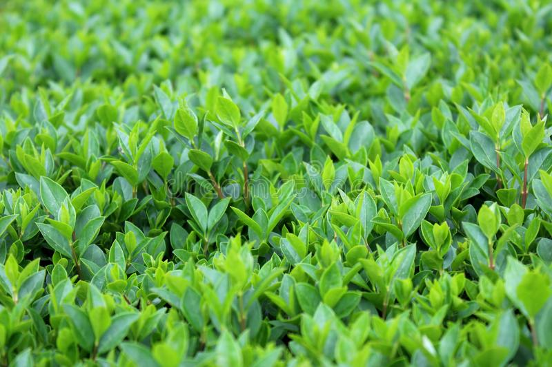 Young Hedge or Hedgerow closely spaced densely planted shrubs with multiple small light green leaves in local garden. On warm sunny day stock photos