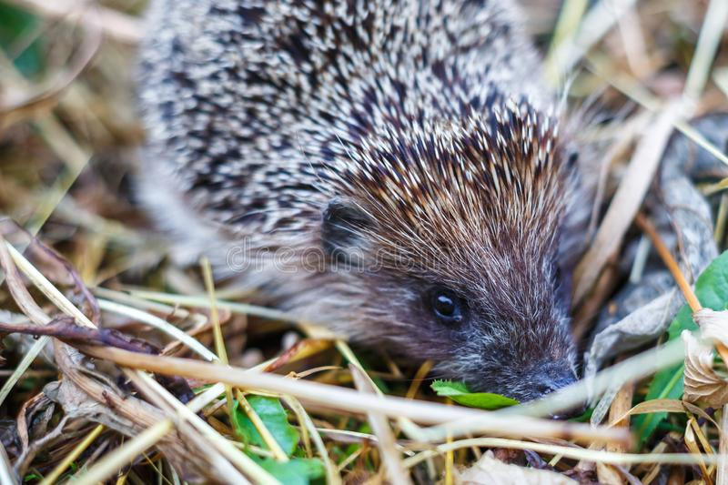 Young hedgehog in grass stock photo