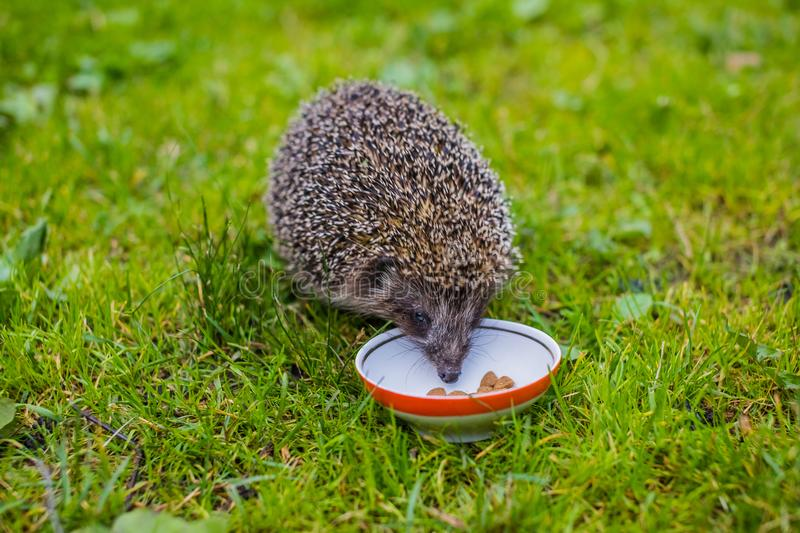 Young hedgehog eating cat food.Hedgehog and a plate on green grass. Native, wild, european hedgehog on a warm day in. Young hedgehog eating feed.Native, wild royalty free stock image