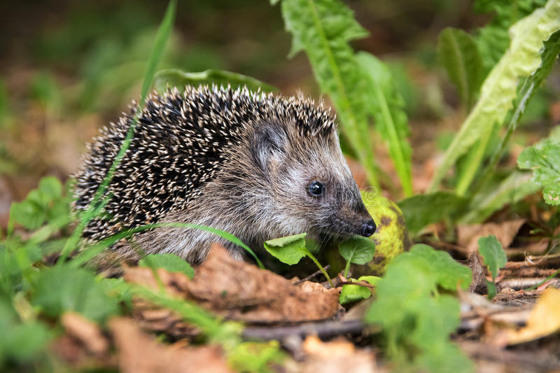 Young hedgehog (Erinaceus europaeus) in autumn looking for food royalty free stock photography