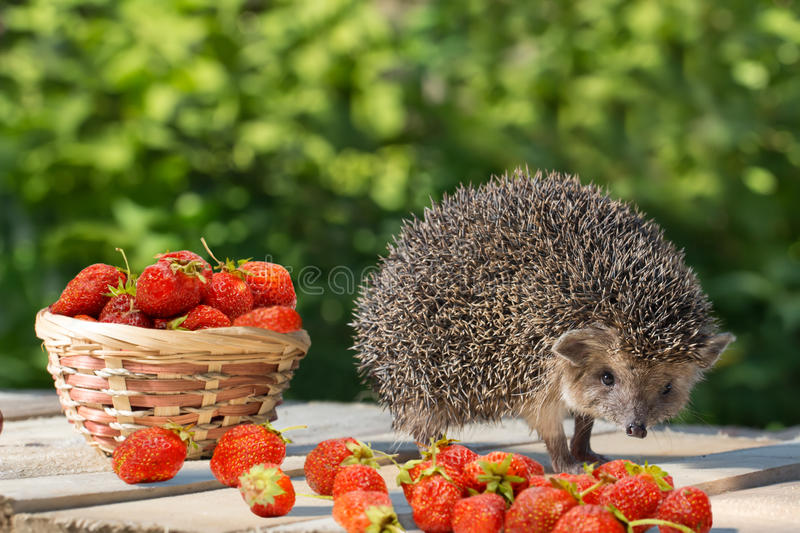 Young hedgehog stands near the wicker basket with strawberry on a wooden plank. stock photography
