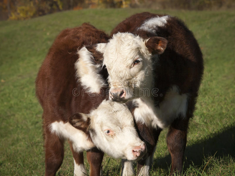 Young Hereford Cows. A pair of young Hereford cows nuzzling against one another on an old Vermont farm stock photos