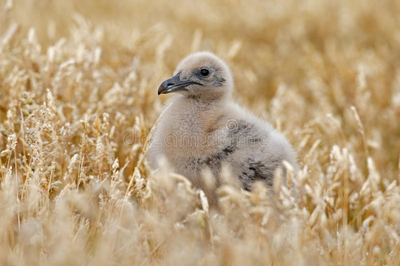 Young hidden brown skua, Catharacta antarctica, water bird sitting in the autumn grass, Norway. Skua in the nature habitat. Bird i stock photography