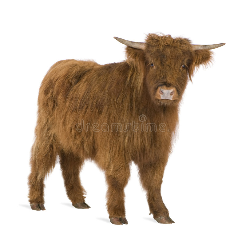 Download Young Highland Cow stock photo. Image of bull, animal - 6851262