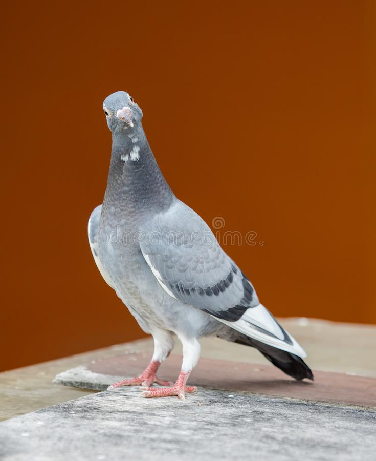 Young homing pigeon bird standing on wood floor against colorful royalty free stock photography