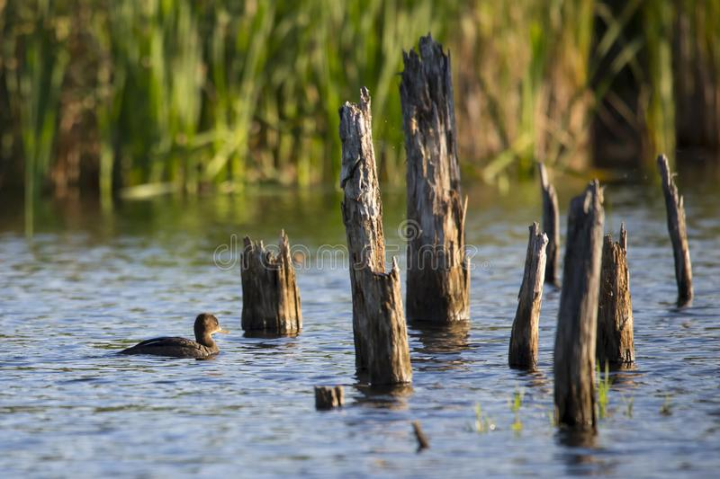 Young hooded merganser floating on the Léon-Provancher marsh. During a late summer early morning golden hour, Neuville, Quebec, Canada royalty free stock photography