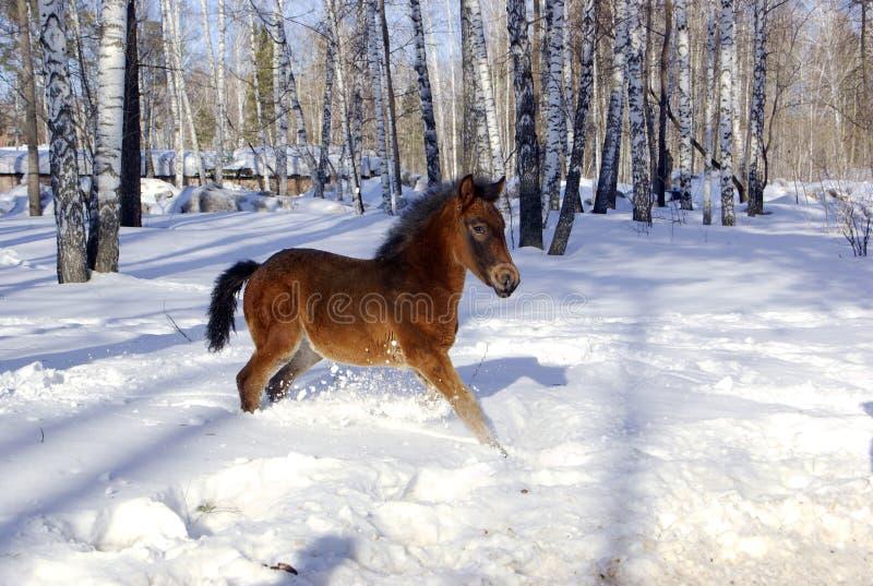 Young horse in the deep snow stock photos