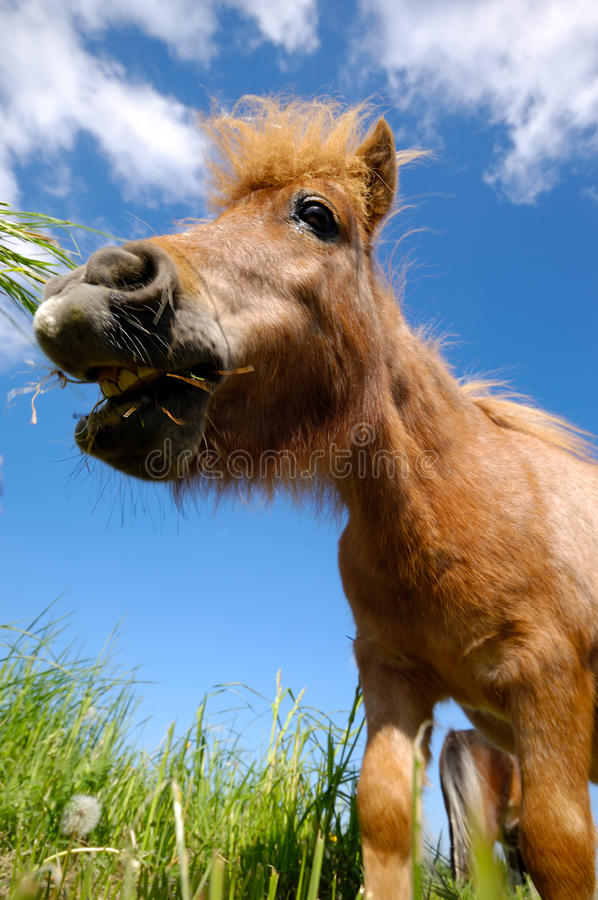 Young Horse Is Eating Grass Royalty Free Stock Photo