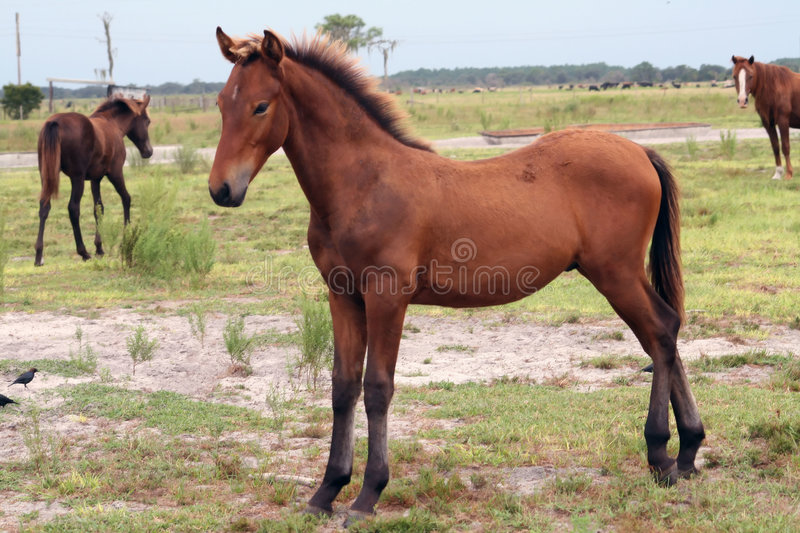 Young horse posing stock image