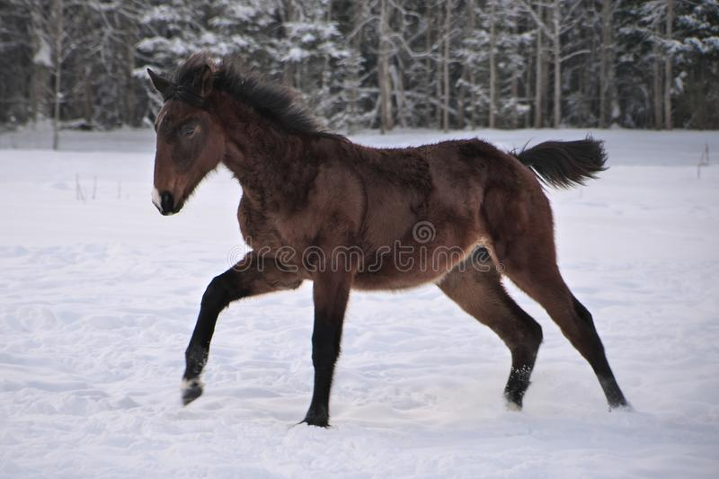 Young horse with snip on its nose jumps of joy stock photos