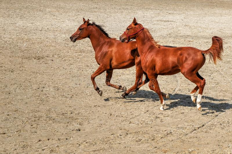 Young horses running free in the sand. Two young brown horses running in gallop in the sand in a summer day - speed, fun, power stock photography