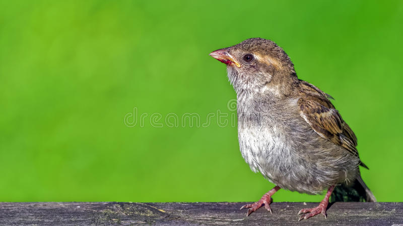Young house sparrows (passer domesticus) royalty free stock photos