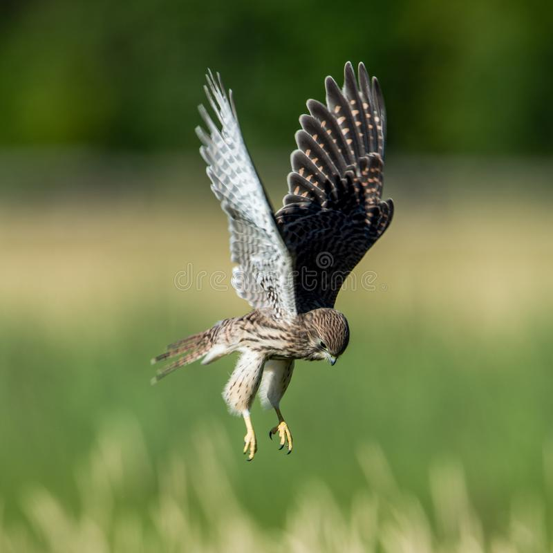 The young hovering kestrel over the meadow. The young hovering Old World Kestrel Falco tinnunculus searching for prey on the meadow royalty free stock image