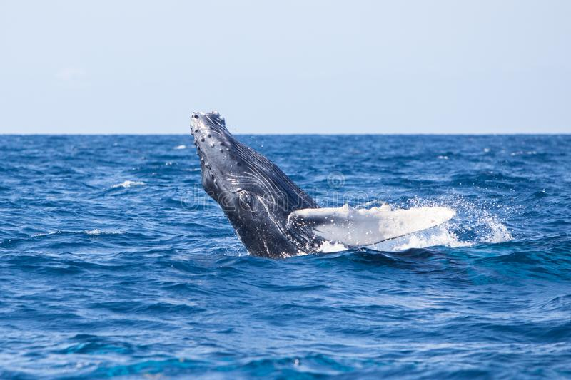 Young Humpback Whale Playing at Surface of the Sea stock images