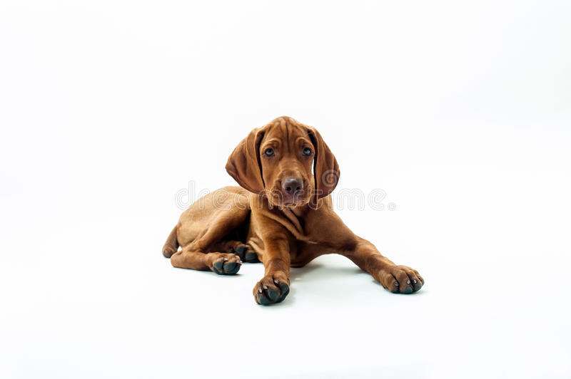 Young Hungarian Vizsla. Tired dog. Young Hungarian Vizsla laying on the ground looking tired and sad stock images