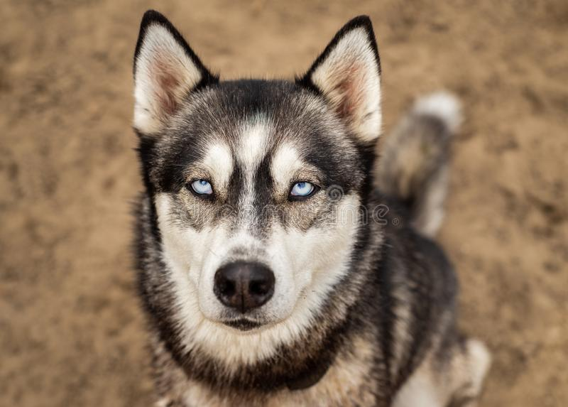 Beautiful husky with bright blue eyes looks at the camera royalty free stock image