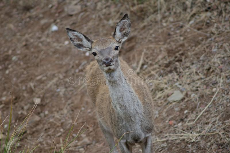 Young Iberian red deer. stock photo