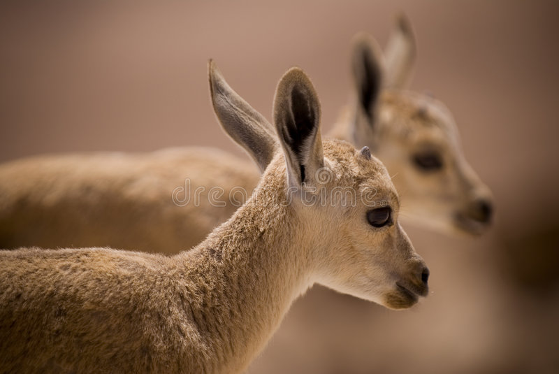 young ibex stock photo