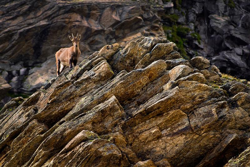 Young ibex on a rock in Gran Paradiso national park fauna wildlife, Italy Alps mountains. Ibex on the stone looking. Gran Paradiso national park fauna wildlife stock photography