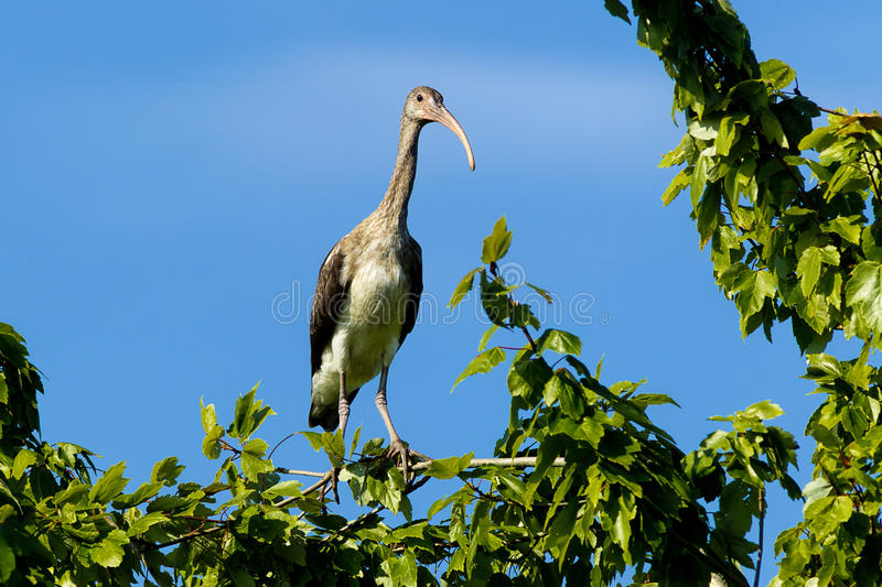 Young ibis in a tree. A young ibis is perched on a tree branch in Lake Woodruf park in Deland, Florida stock photo