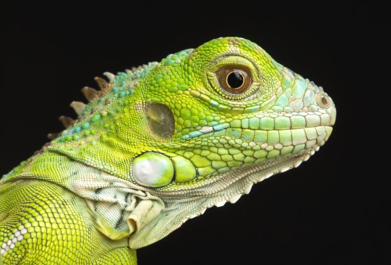 Young Iguana Head Shot royalty free stock photo