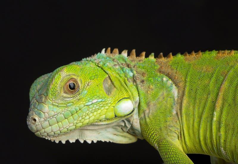 Young Iguana stock photos