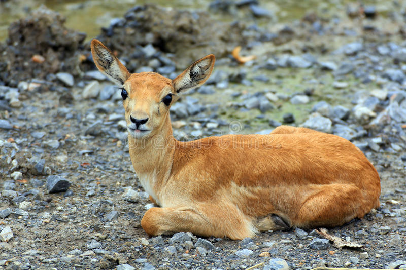 Download Young Impala stock image. Image of animal, wildlife, forest - 26467683