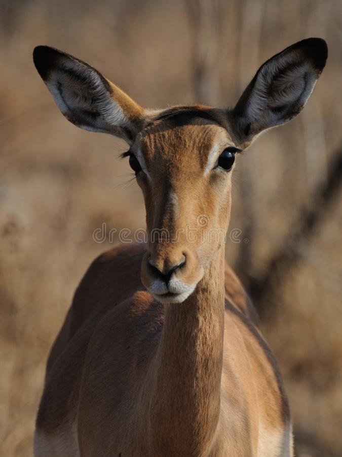 Young Impala (Aepyceros Melampus). This is a female impala royalty free stock photo