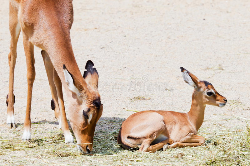 Young impala with mother stock photo
