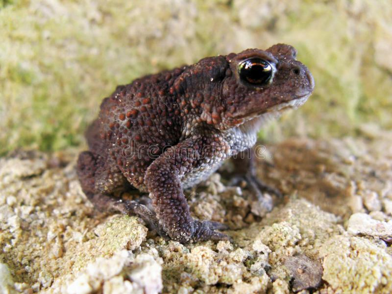 A young important puffy toad with bulging eyes sits on the sand. In anticipation of a prince stock images