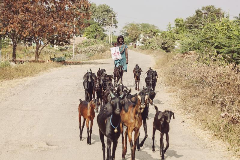Young Indian girl with her goat herd stock images