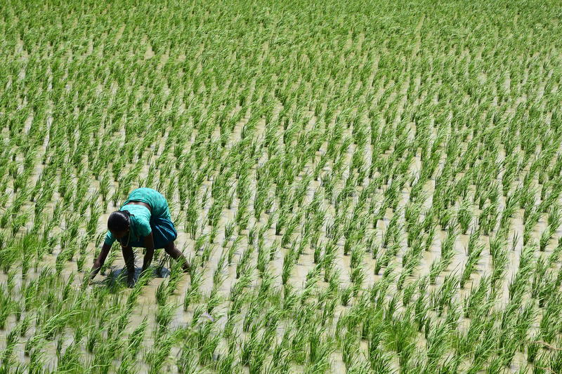 Young Indian lady on a rice field. under hard sun. 14 AUGUST 2015 Thirunelveli Tamilnadu, India. Hard working lady on a rice field. under hard sun royalty free stock photography