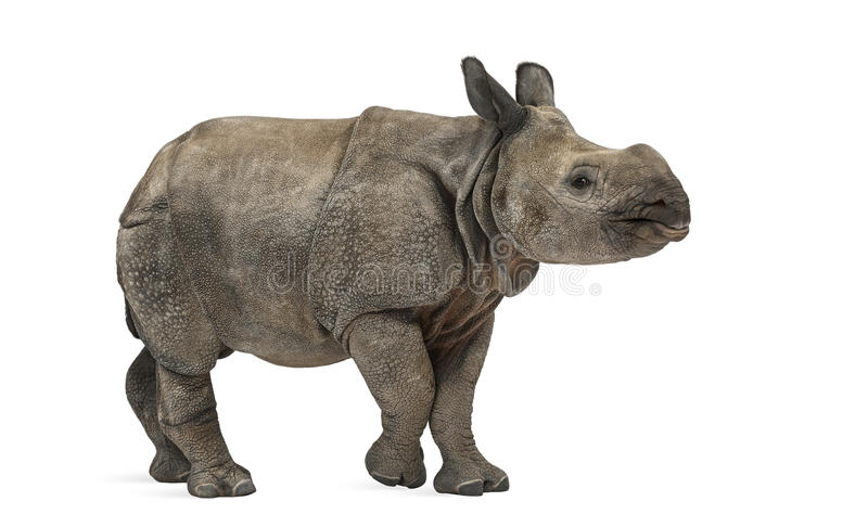 Young Indian one-horned rhinoceros (8 months old). Isolated on white royalty free stock photo